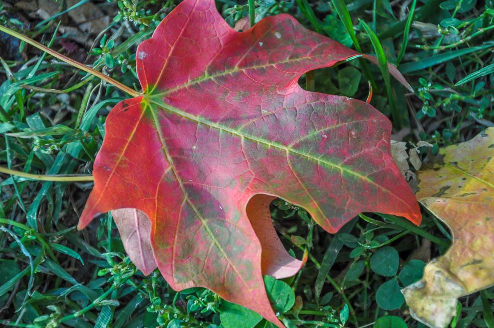 2010 10 21 Red Leaf Washington DC DSC_0135