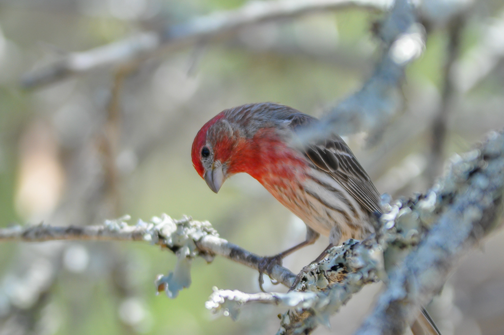 2011 05 14 A curious House Finch at Balcones Canyonlands NWR, TX
