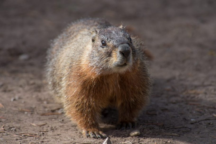 2016-05-13-Yellow-bellied-Marmot-Sheepeater-Cliff59