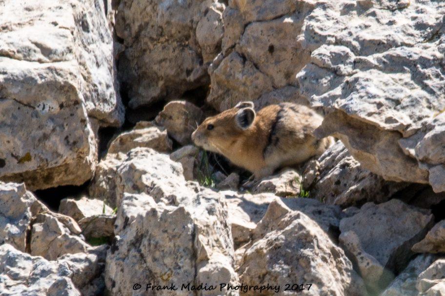 2017-07-22-Picas-Chipmunk-Marmots-Deer-Near-Medicine-Wheel-Wyoming03
