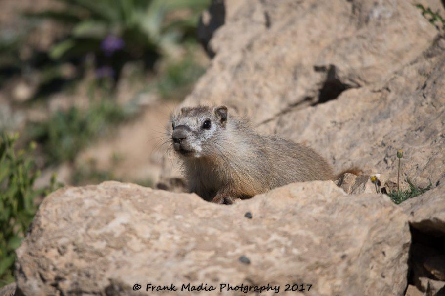 2017-07-22-Picas-Chipmunk-Marmots-Deer-Near-Medicine-Wheel-Wyoming212