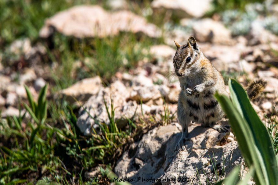 2017-07-22-Picas-Chipmunk-Marmots-Deer-Near-Medicine-Wheel-Wyoming80